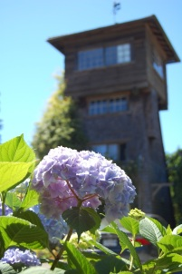 Hydrangeas in bloom